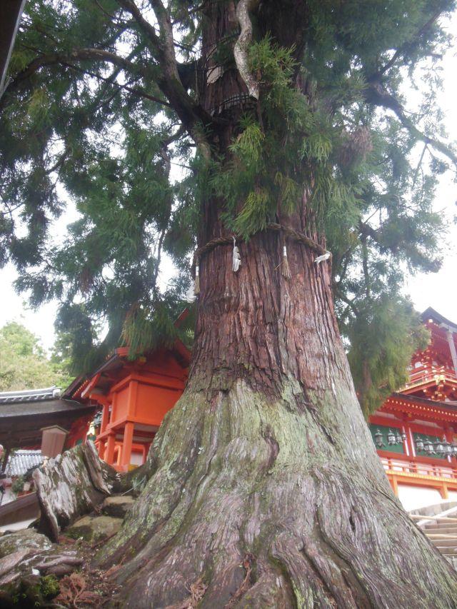cedartree